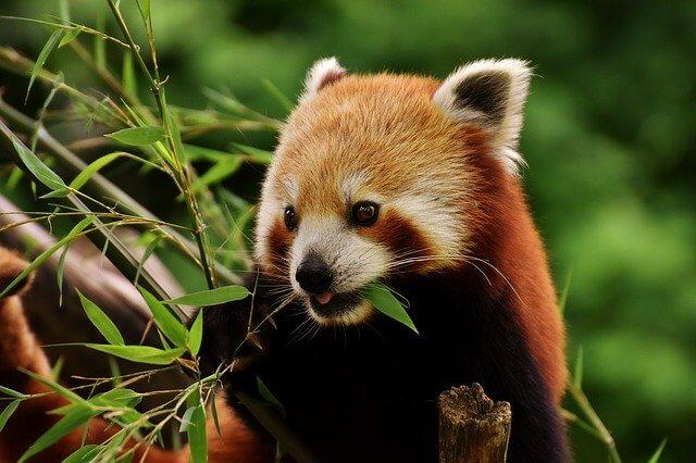 Roter Panda Bambus